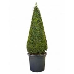 Самшит вечнозелёный пирамида Диаметр горшка — 40 см Высота растения — 145 см