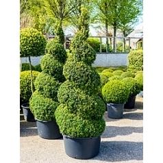 Самшит вечнозелёный спираль Диаметр горшка — 60 см Высота растения — 210 см