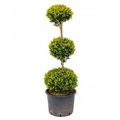 Самшит вечнозелёный стебель 3-шар Диаметр горшка — 30 см Высота растения — 120 см