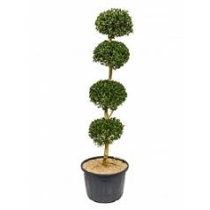 Самшит вечнозелёный стебель 4-boll Диаметр горшка — 40 см Высота растения — 170 см