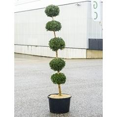Самшит вечнозелёный стебель 5-boll Диаметр горшка — 50 см Высота растения — 210 см