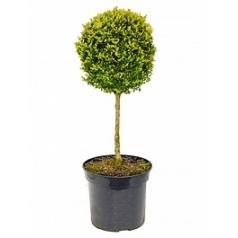 Самшит вечнозелёный стебель/шар (35) Диаметр горшка — 30 см Высота растения — 100 см