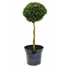 Самшит вечнозелёный стебель/шар (40-45) Диаметр горшка — 44 см Высота растения — 125 см