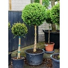 Самшит вечнозелёный стебель/шар (50) Диаметр горшка — 50 см Высота растения — 150 см
