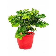 Карисса griflora куст Диаметр горшка — 19 см Высота растения — 35 см