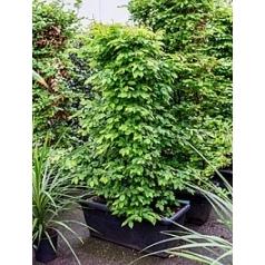 Граб берёзовый обыкновенный terrace screen Диаметр горшка — 100x45x40 см Высота растения — 190 см