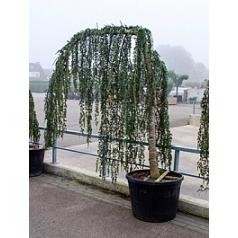 Кедр атласский glauca pendula Диаметр горшка — 75 см Высота растения — 220 см