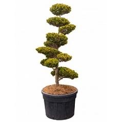 Кипарисовик туполистный draht бонсай Диаметр горшка — 80 см Высота растения — 240 см