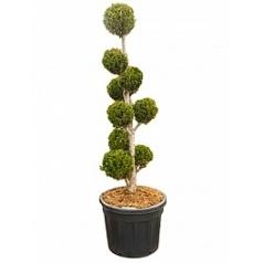 Кипарисовик туполистный draht multi крона Диаметр горшка — 60 см Высота растения — 225 см