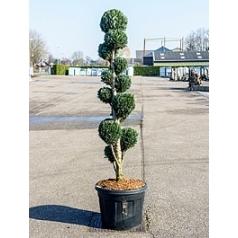 Кипарисовик Лоусона columnaris multi крона Диаметр горшка — 65 см Высота растения — 240 см