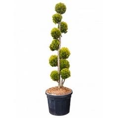 Кипарисовик Лоусона ivonne multi крона Диаметр горшка — 60 см Высота растения — 240 см