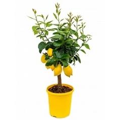 Цитрус Лимон стебель extra Диаметр горшка — 23 см Высота растения — 65 см