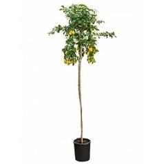 Цитрус Лимон стебель Диаметр горшка — 40 см Высота растения — 350 см