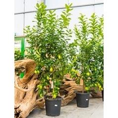 Цитрус Лимон стебель Диаметр горшка — 40 см Высота растения — 200 см