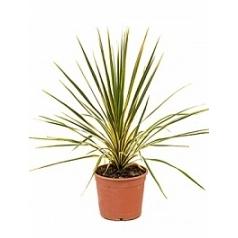 Кордилина australis dazzler куст Диаметр горшка — 22 см Высота растения — 70 см