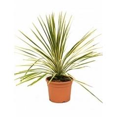 Кордилина australis dazzler куст Диаметр горшка — 27 см Высота растения — 75 см