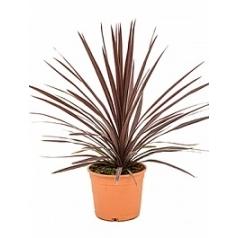 Кордилина australis red star куст Диаметр горшка — 22 см Высота растения — 70 см