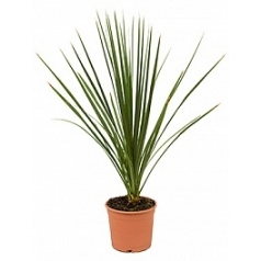 Кордилина indivisa куст Диаметр горшка — 22 см Высота растения — 70 см