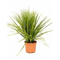 Кордилина indivisa куст Диаметр горшка — 27 см Высота растения — 95 см
