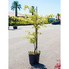 Кизил variegata branched Диаметр горшка — 40 см Высота растения — 175 см