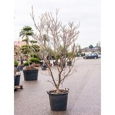 Кизил японский schmetterling куст Диаметр горшка — 55 см Высота растения — 260 см