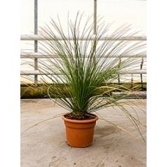 Дазилирион (нолиновый) wheeleri стебель (25) Диаметр горшка — 35 см Высота растения — 110 см