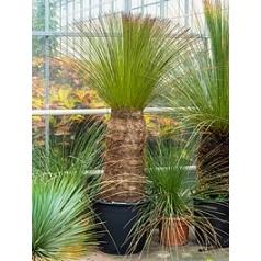 Дазилирион (нолиновый) wheeleri стебель (80) Диаметр горшка — 50 см Высота растения — 170 см