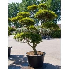 Энкиантус perulatus branched Диаметр горшка — 120 см Высота растения — 320 см