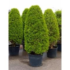 Энкиантус perulatus column Диаметр горшка — 65 см Высота растения — 275 см
