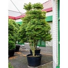 Энкиантус perulatus pon pon Диаметр горшка — 120 см Высота растения — 360 см