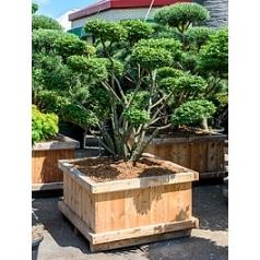 Бересклет alatus бонсай Диаметр горшка — 115/115 см Высота растения — 230 см