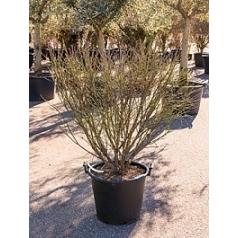 Бересклет alatus compactus куст Диаметр горшка — 50 см Высота растения — 160 см