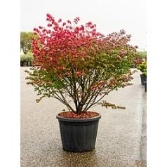 Бересклет alatus compactus куст Диаметр горшка — 60 см Высота растения — 160 см