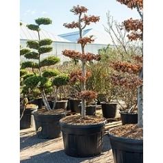 Бук sylvatica bonsai Диаметр горшка — 85 см Высота растения — 260 см