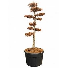 Бук sylvatica bonsai Диаметр горшка — 85 см Высота растения — 270 см