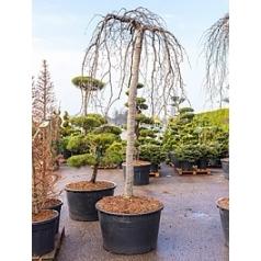 Бук sylvatica purpurea pendula стебель Диаметр горшка — 95 см Высота растения — 330 см