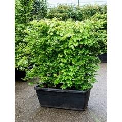 Бук sylvatica terrace screen Диаметр горшка — 100x45x40 см Высота растения — 150 см