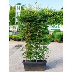 Бук sylvatica terrace screen Диаметр горшка — 100x45x40 см Высота растения — 230 см