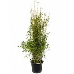Фаргезия бамбуковая murieliae jumbo куст (180-200) Диаметр горшка — 40 см Высота растения — 180 см
