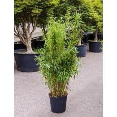Фаргезия бамбуковая murieliae jumbo куст Диаметр горшка — 32 см Высота растения — 160 см