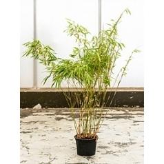 Фаргезия бамбуковая rufa куст Диаметр горшка — 21 см Высота растения — 120 см