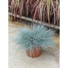 Овсянница злакоцветная glauca intense blue куст Диаметр горшка — 23 см Высота растения — 55 см