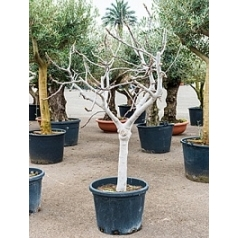Фикус carica branched (200-220) Диаметр горшка — 55 см Высота растения — 225 см