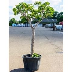Фикус carica стебель Диаметр горшка — 75 см Высота растения — 270 см