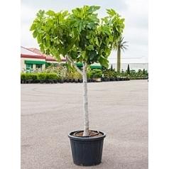 Фикус carica стебель Диаметр горшка — 45 см Высота растения — 200 см