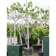 Фикус carica стебель Диаметр горшка — 55 см Высота растения — 330 см