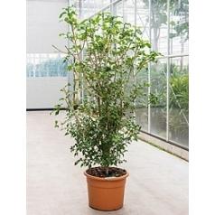 Гардения thunbergia branched Диаметр горшка — 45 см Высота растения — 210 см