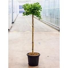 Гинкго двулопастный mariken стебель Диаметр горшка — 40 см Высота растения — 180 см