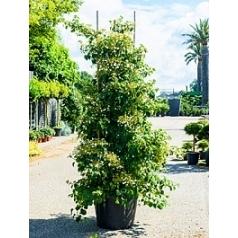 Гортензия anomala petiolaris куст (180-200) Диаметр горшка — 50 см Высота растения — 240 см