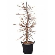 Гортензия anomala petiolaris куст Диаметр горшка — 55 см Высота растения — 220 см